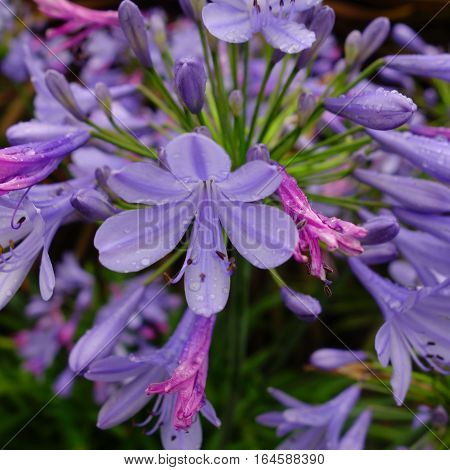 Close-up of a blue agapanthus flower after rain