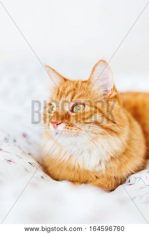 Cute ginger cat lying in bed. Fluffy pet looks curiously. Cozy home background.