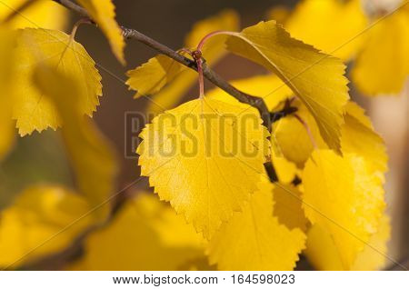 closeup of yellow leaves on a branch with an indistinct background