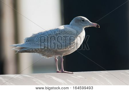 Glaucous Gull (Larus hyperboreus) in first winter plumage standing on a Pipeline in a Harbour