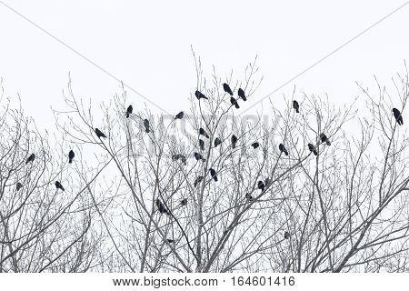 Closeup of a Group of Ravens. Ravens sitting on a tree in Winter