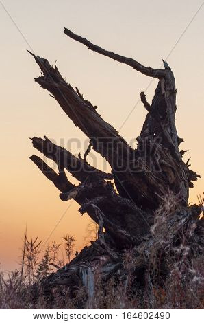 Roots of the fallen tree big snag large the plan against the background of the sky at sunset