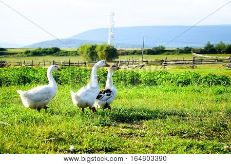 Geese come in wild field. Siberia, Russia.