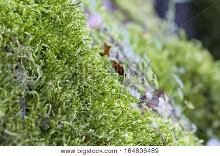 Closeup image of moss growing in a stone surface.
