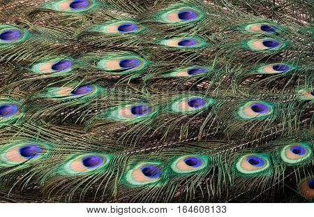 Picturesque and colorful peacock tail feathers, rhythm and texture of natural ornament