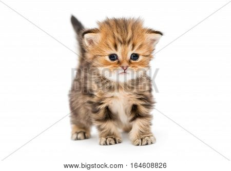 Small striped kitten breed British marble isolated on white