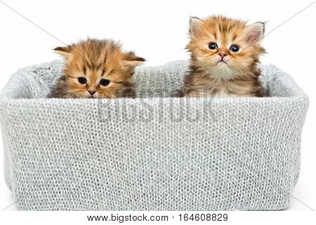 Two small British kitten in a knitted box isolated on white