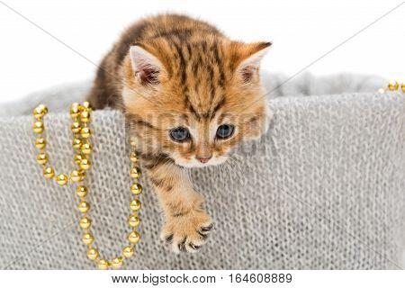 Small British kitten in a knitted box isolated on white