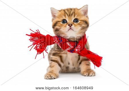 Little kitten British marbled in a red scarf isolated on white.