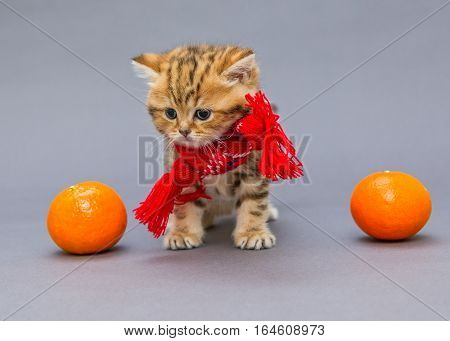 Little kitten British marbled in a red scarf and tangerines