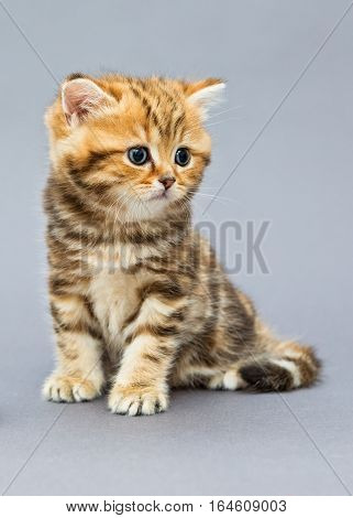 Small striped kitten breed British marbled on grey background