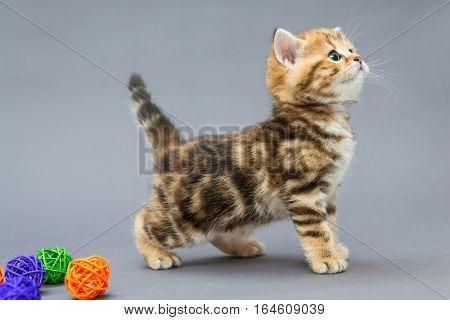 Little kitten British marbled plays with balls on grey background