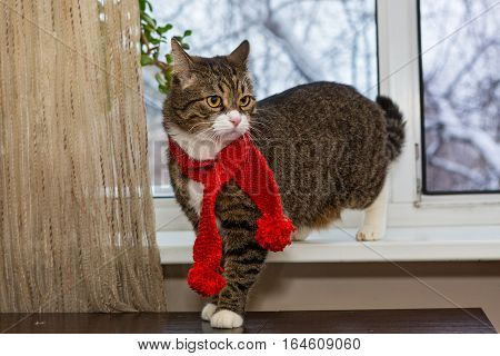 Gray domestic cat in a red scarf sits on the windowsill
