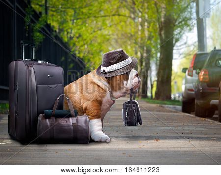 nice big dog with a suitcase. The bulldog was holding the bag in his teeth. Funny hat on the dog. The animal is waiting outside