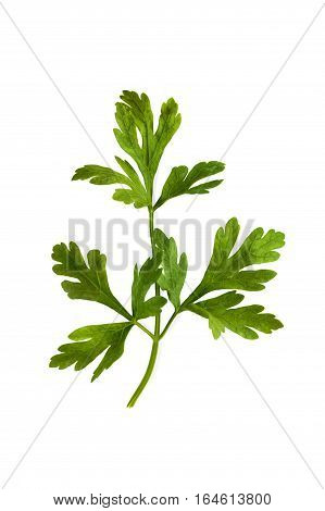 Parsley green herb leaf closeup isolated on white background. Studio image of spicy vegetable and herb, healthy natural organic food, cooking ingredient