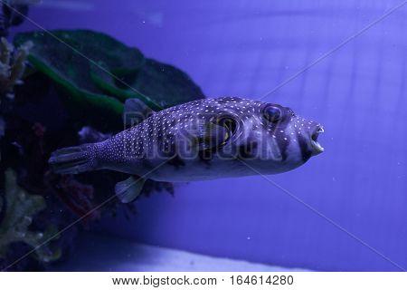 Puffer fish in aquarium. Arothron hispidus. Marine fish