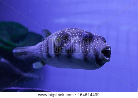 Puffer fish swimming in aquarium. Arothron hispidus