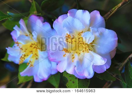White with pink Camellia flowers,beautiful flowers with raindrop blooming in the garden