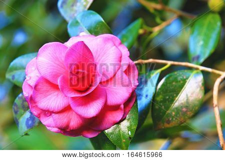 Pink Camellia flower with raindrops,beautiful pink flower with raindrops blooming in the garden