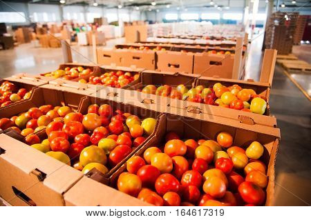 Red Tomatoes On Vegetable Processing Factory