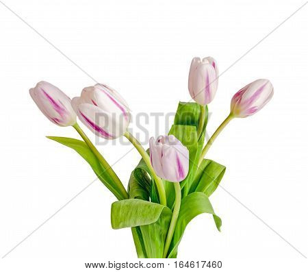 Light Mauve With Stripes Tulips Flowers, Bouquet, Bunch, Isolated On White Background.