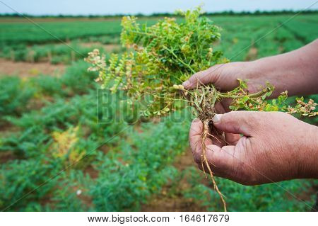 Farmer Showing Chickpeas In Close Up