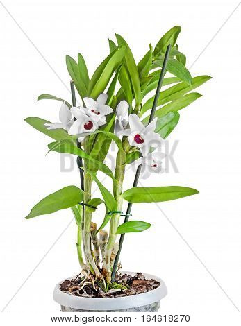 White Dendrobium Nobile Flowers, Branch, Green Leaves, Plant, Close Up, White Background.