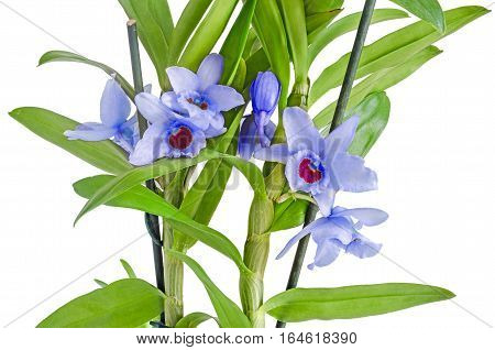 Blue, Mauve Dendrobium Nobile Flowers, Branch, Green Leaves, Plant, Close Up, White Background.
