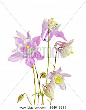 Pink Aquilegia (columbine) Flabellata, Common Name Fan Columbine, Dwarf Columbine, Caldarusa, Family