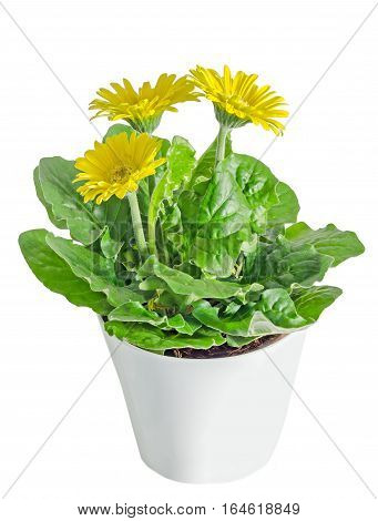 Yellow Gerbera Flowers In A Vase, Flowerpot, Green Leaves, Close Up, Isolated On White Background.