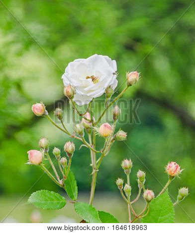White Bush Rose Flowers With Buds, Green Bokeh Background, Outdoor, Close Up.