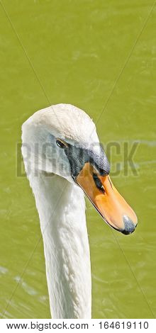 White Swan Head With Orange Beak, Feathers, Close Up, Isolated On Water Background