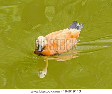 Brown Wild Duck On Water, Dark Beak, Red Feathers, Close Up, Portrait, Isolated.