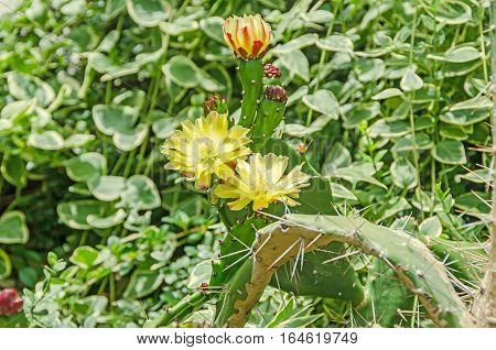Yellow Cactus Flowers With Bud, Green Leaves Needles, Close Up.
