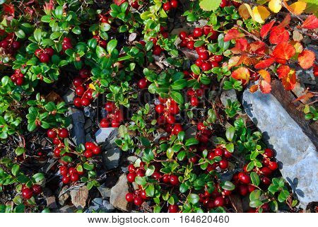 Plants Of The Altai. In the Altai territory a lot of useful plants.These beautiful red berries grow on rocky soil. Among the mountains and hills. Juicy,green leaves and bright red berries adorn the area.