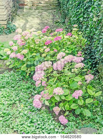 Hydrangea Pink Bush Flowers, Common Names Hydrangea Or Hortensia, Green Grass.