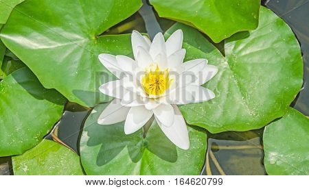 White Water Lily On The Lake, Lotus Flower With Green Pads, Close Up.