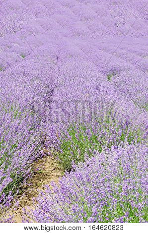 Field Of Mauve, Purple Lavandula Angustifolia, Lavender, Most Commonly True Lavender Or English Lave