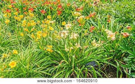 Colored Daylily Flowers, The Genus Hemerocallis, Green Leaves, Outdoor.