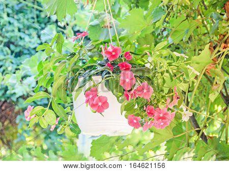 Pink Petunias Flowers, Green Leaves, White Hanging Flowerpot