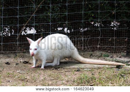 Close up of White wallaby or medium-sized kangaroo.