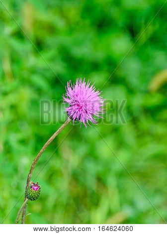 Carduus Nutans Flower, Common Names Musk Thistle, Nodding Thistle, Nodding Plumeless Thistle