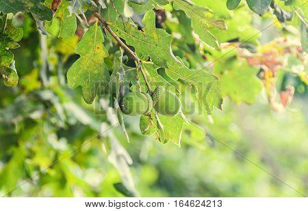 Green Acorns Oak Tree, Green Leaves, Bokeh Background, Close Up Outdoor