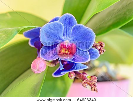 Blue Orchid Flower With Red Pistils