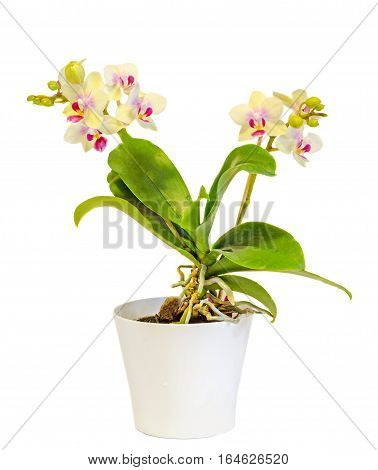 Yellow Orchid Flowers, Red Pistils, White Vase