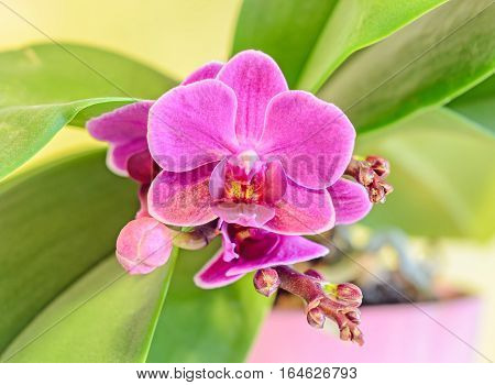 Pink Orchid Flower With Red Pistils