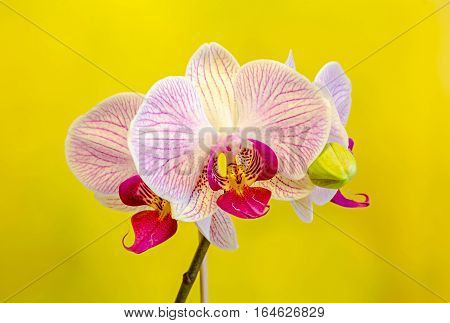 Pink Orchid Flowers With Red Spots