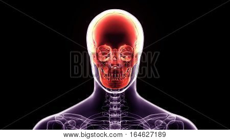 3d illustration human body skull.of a front face skull