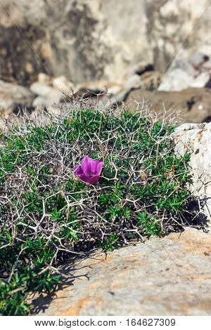 Gentle violet flower among the thorns and stones. Solitariness loneliness concept.