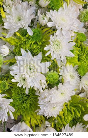 Beautiful white chrysanthemum flower blooming stock photo